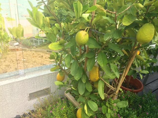 My unkempt but much loved lemon tree :)